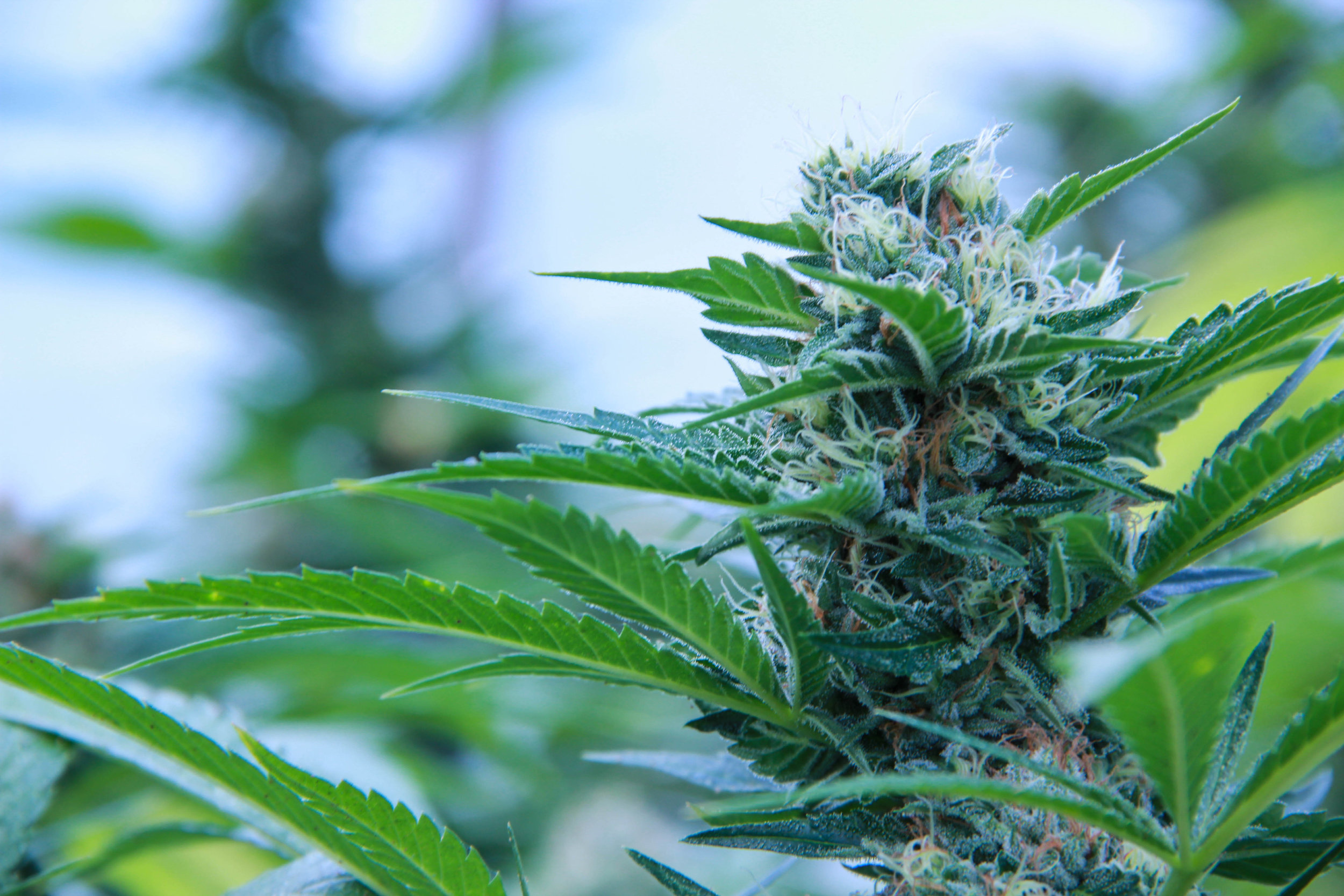 Cannabis flower from Mountain High Garden