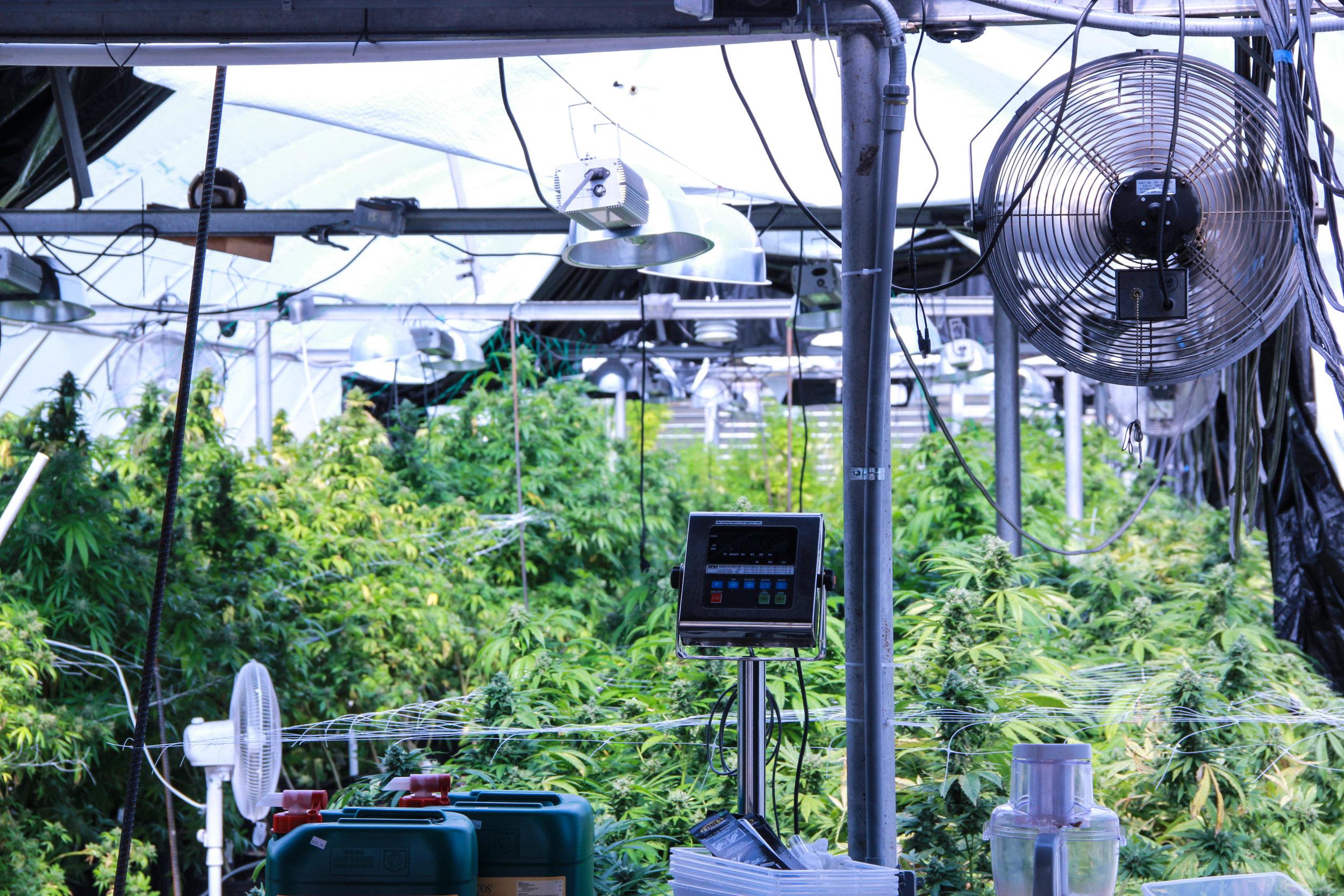 Mountain High Garden Cannabis Greenhouse