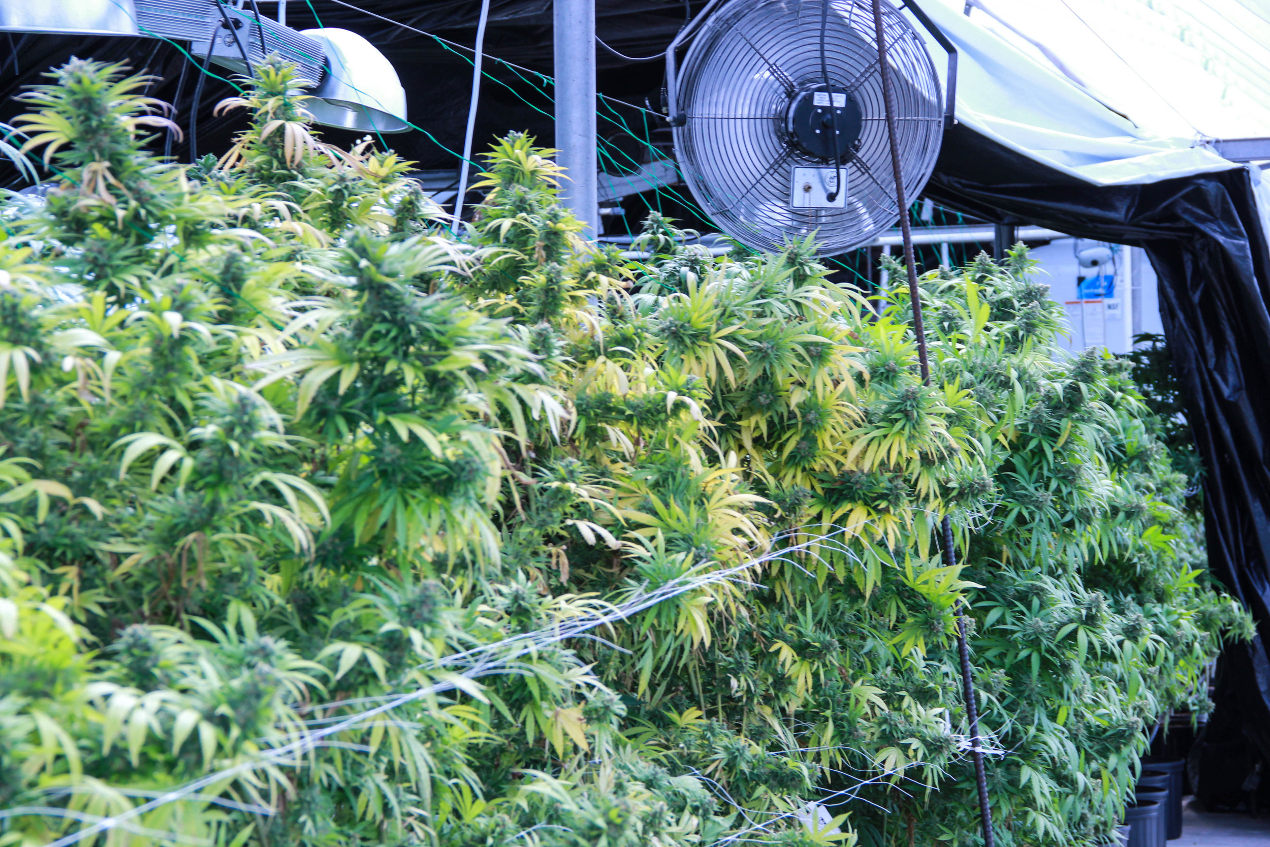 Cannabis plants growing in the Mountain High Garden greenhouse.