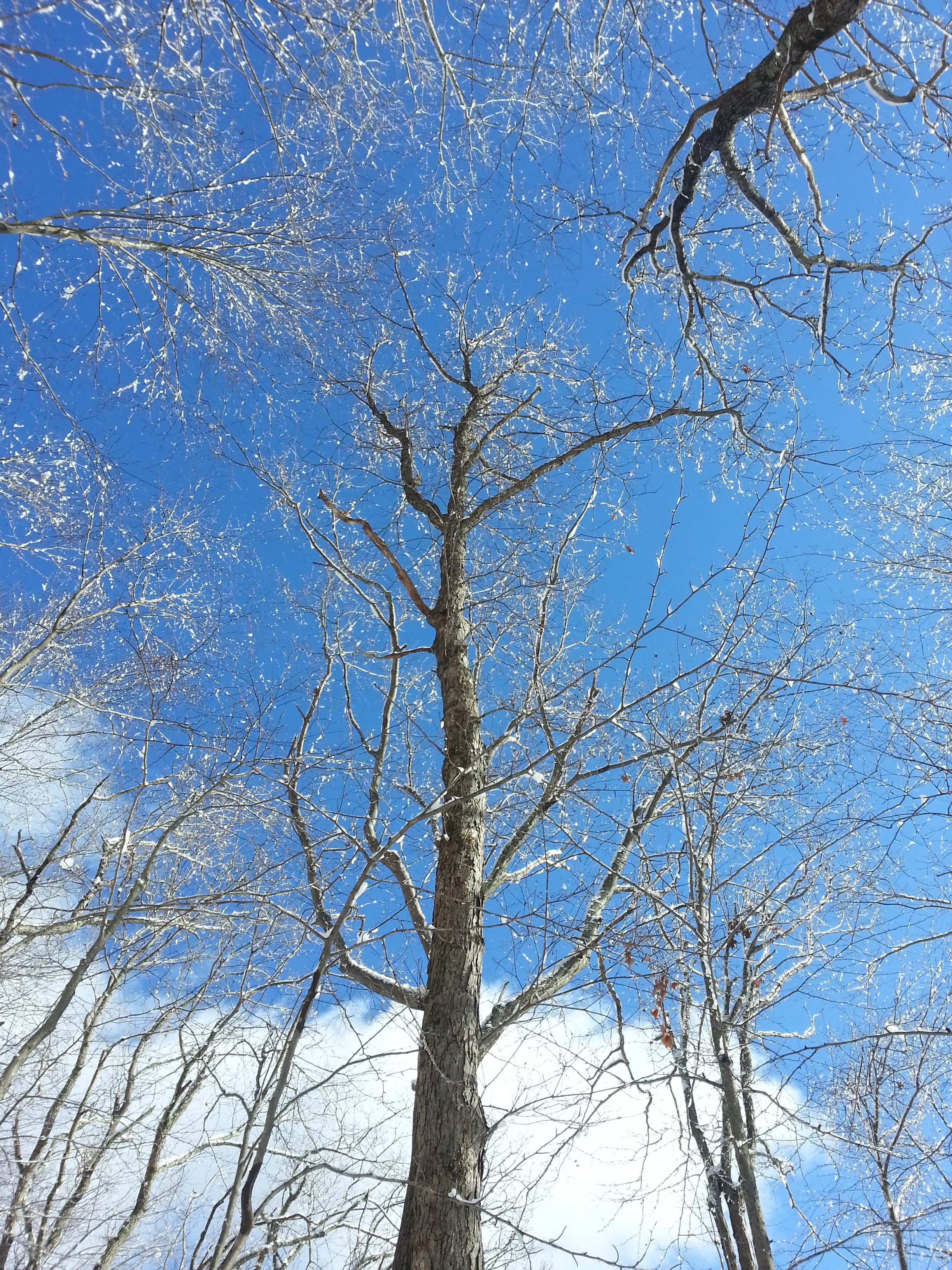 Trees against the hard blue sky.jpg