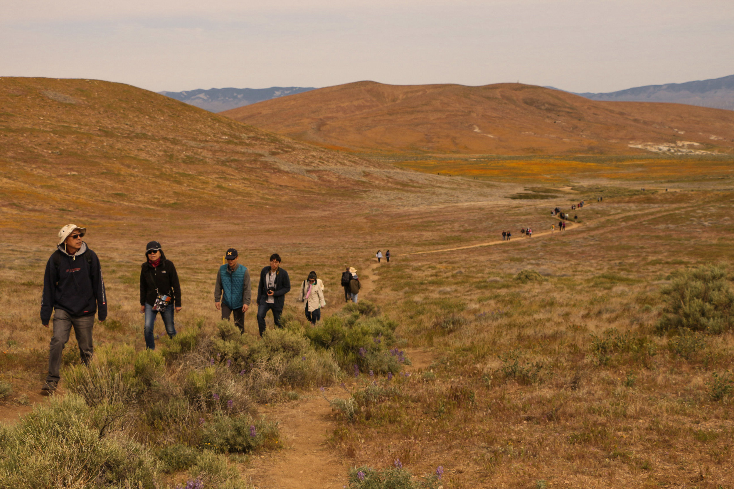 Visitors at the Antelope Valley Reserve hike their way to the poppy fields, hoping to catch a glimpse of the super bloom before it fades away due to lack of rain in the Antelope Valley California on April 8, 2017. Jose Aguila