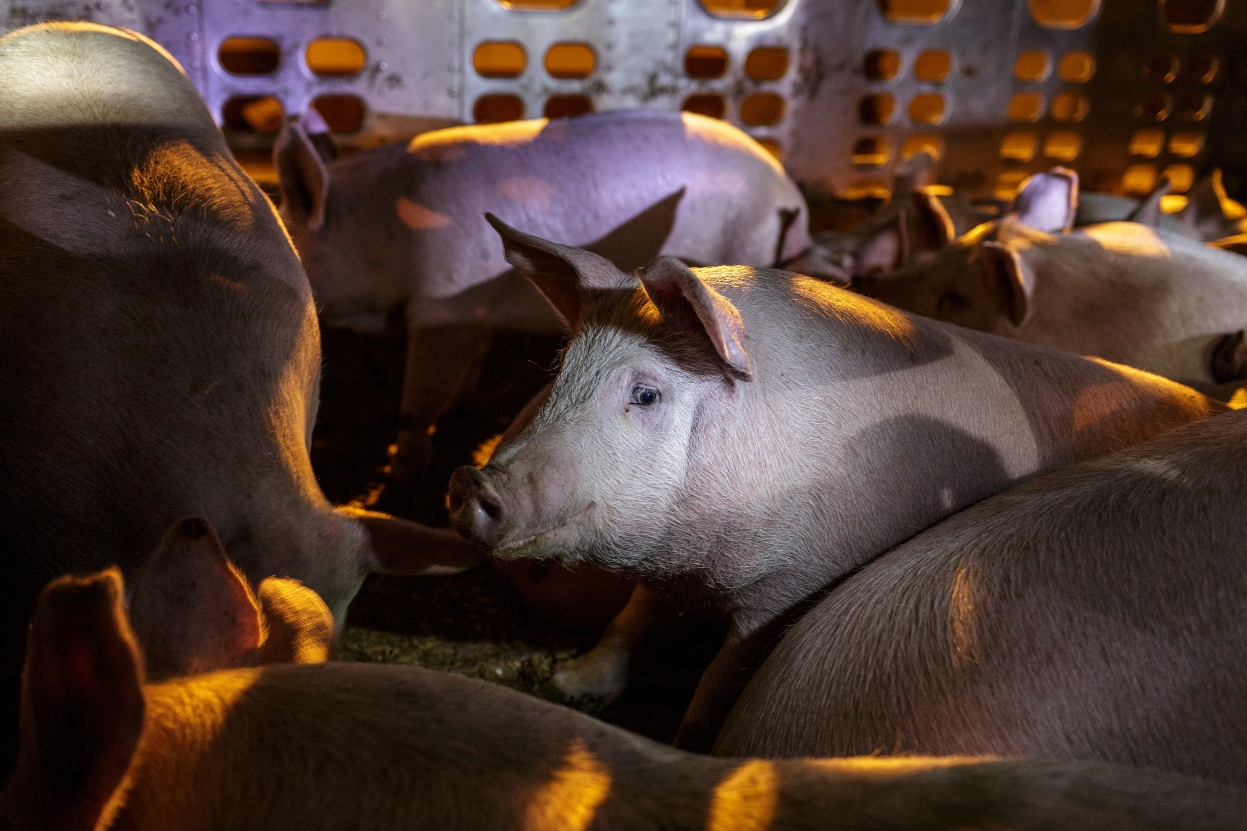 Pigs sit quietly on the two storey metal truck taking them in through the gates of Farmer John, a meatpacking facility in the city of Vernon, Los Angeles, CA. Activists claim that the pigs receive no food or water during their journey, which may take several days from farm to slaughterhouse.  March 22nd 2017 Photo by Ruth Iorio
