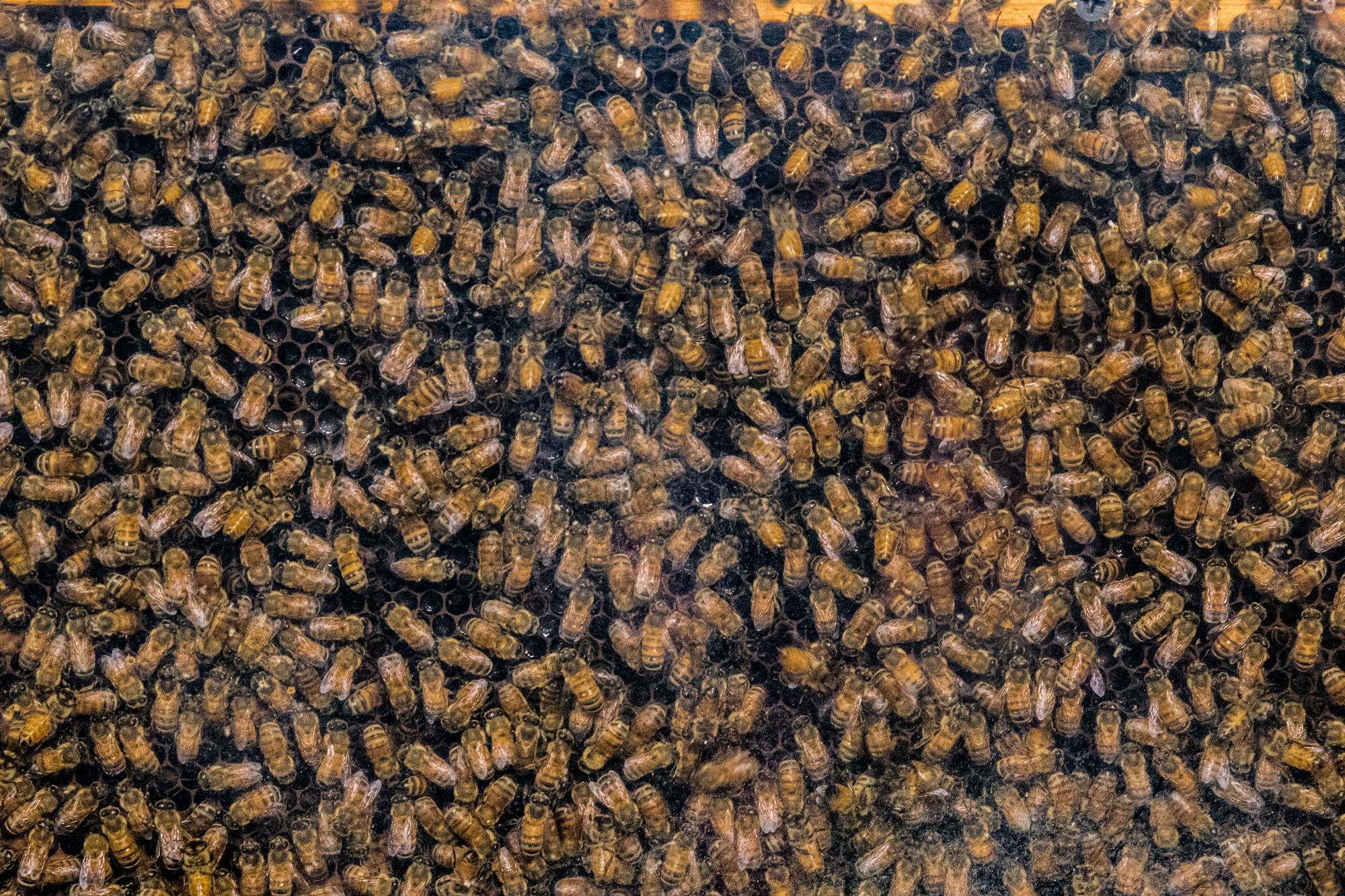 A colony of bees on display at the Los Angeles Natural History Museums 32nd annual Bug Fair on May 19, 2018. (Zane Meyer-Thornton/Corsair Photo)