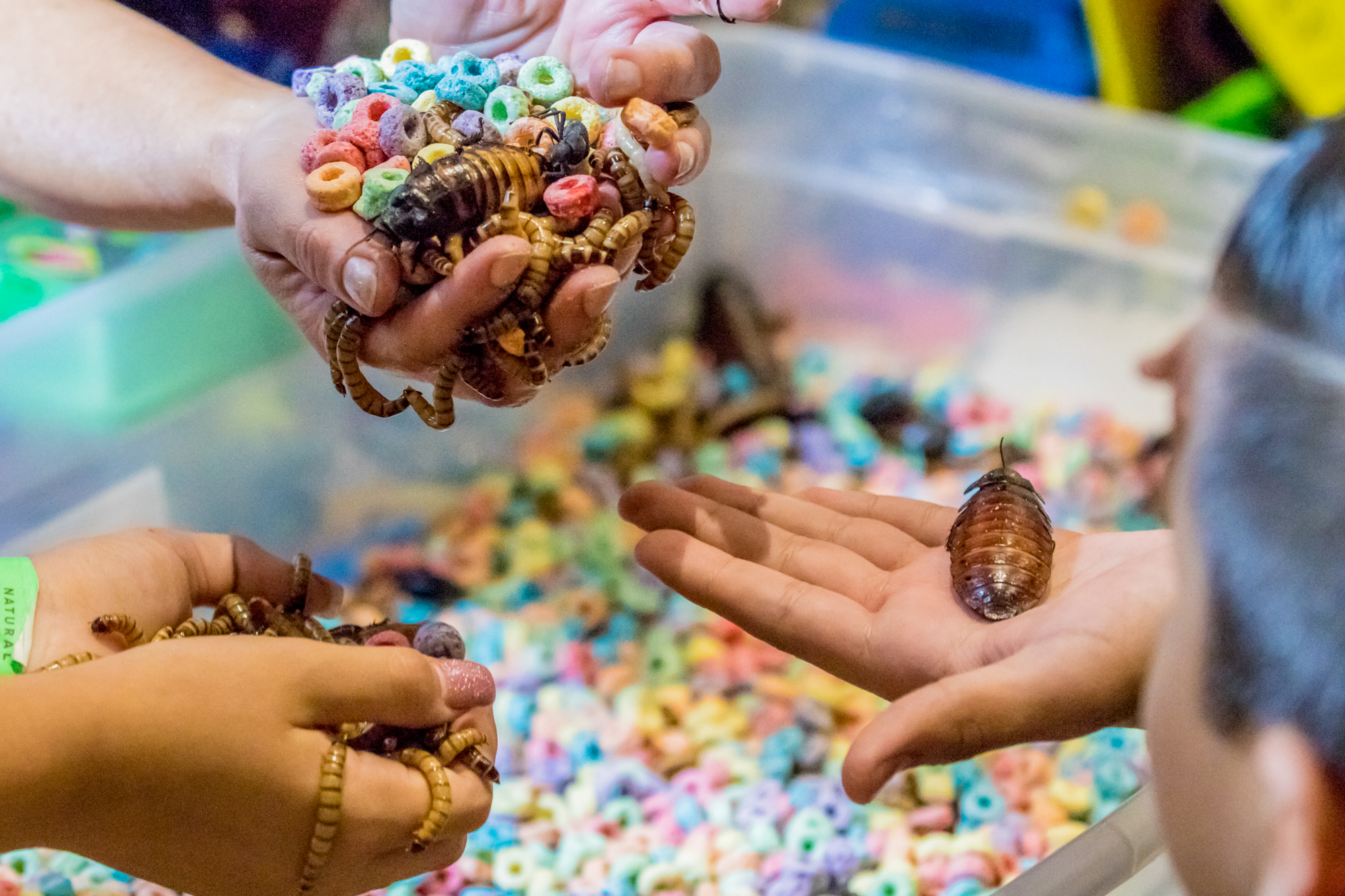 People hold an asosrtment of meal worms, cockroaches, and froot loops at the Los Angeles National History Museums 32nd Annual Bug Fair. This strange combination showed to be problematic when a child started to eat the froot loops. The Bug Fair took place on May 19, 2017. (Zane Meyer-Thornton/Corsair Photo)