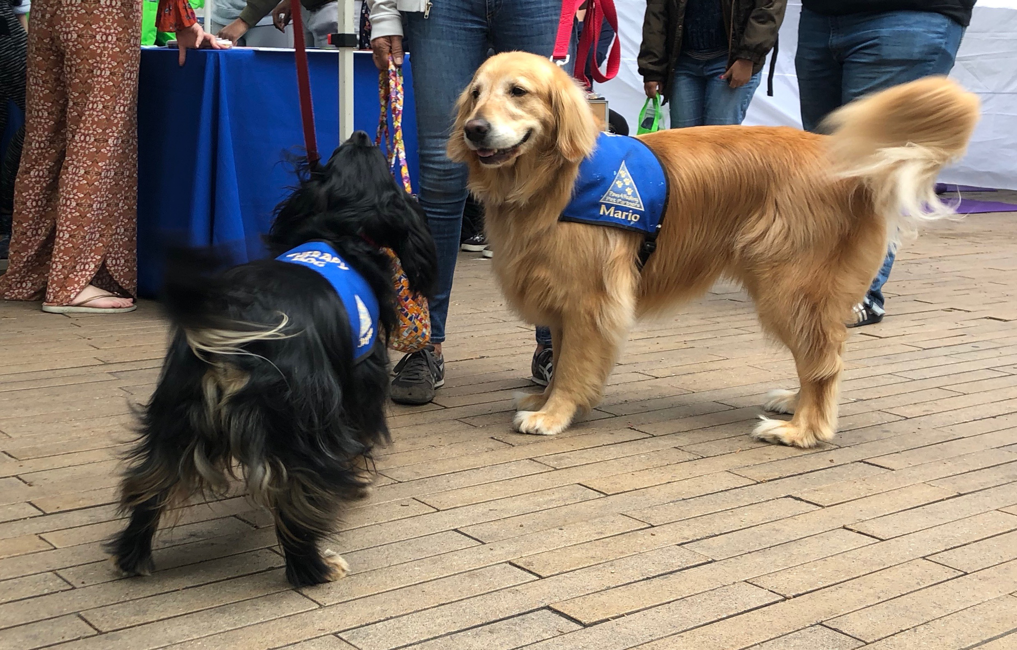 Therapy dogs Clayton (left) and Mario (right), came by Active Minds event on Thursday, May 24, 2018 at Santa Monica College, in Santa Monica, California to say hello to students and help reduce their stress. (Jennifer Nystrom/Corsair Photo)