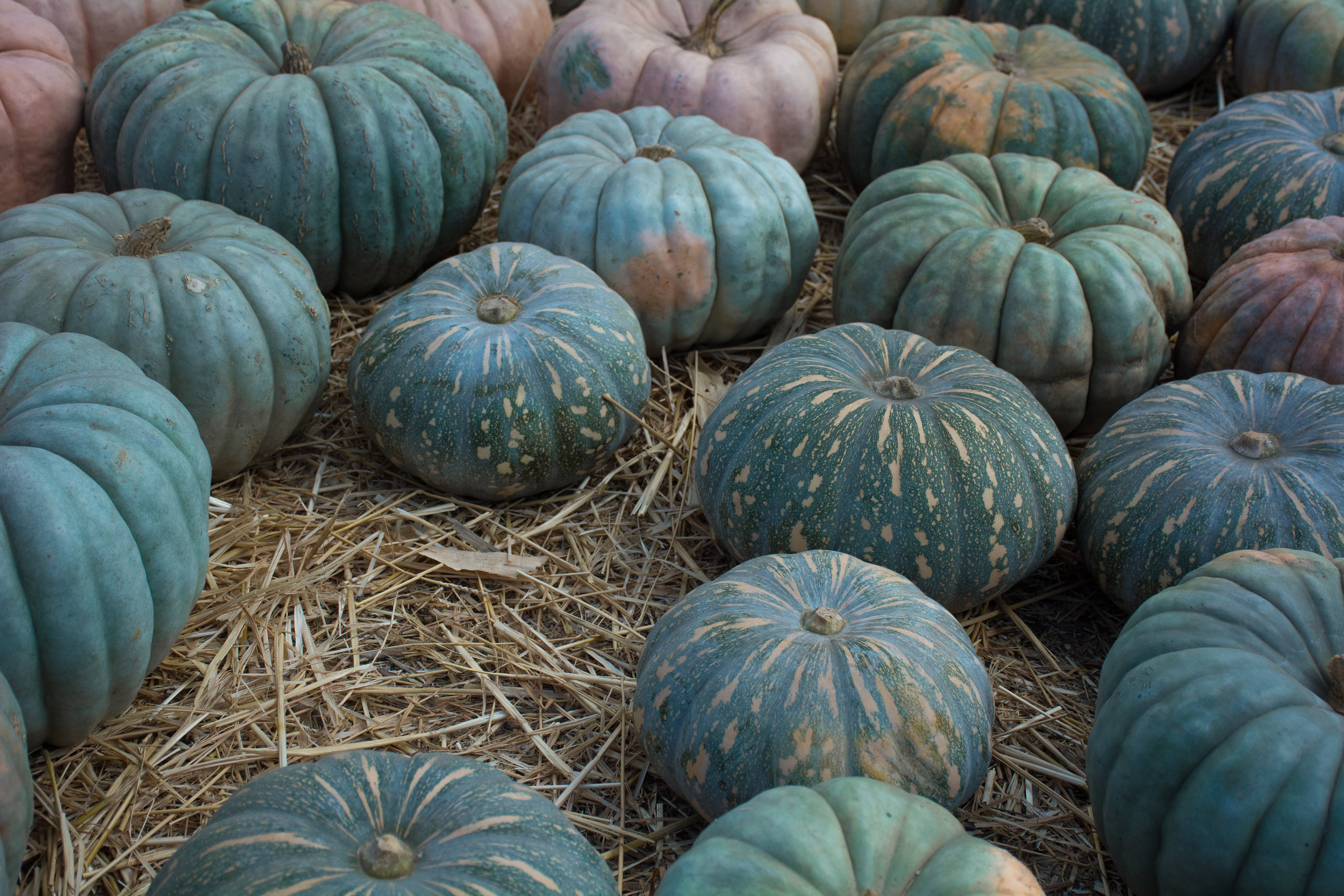 Looking for something other than your traditional round orange pumpkin, grab a wagon and check out the famous Mr.Bones Pumpkin Patch that has over hundreds and hundreds of all sorts of pumpkins to pick from located in Culver City,California on October 8th, 2019.(Adriel Navarro, Writer/Corsair Staff)