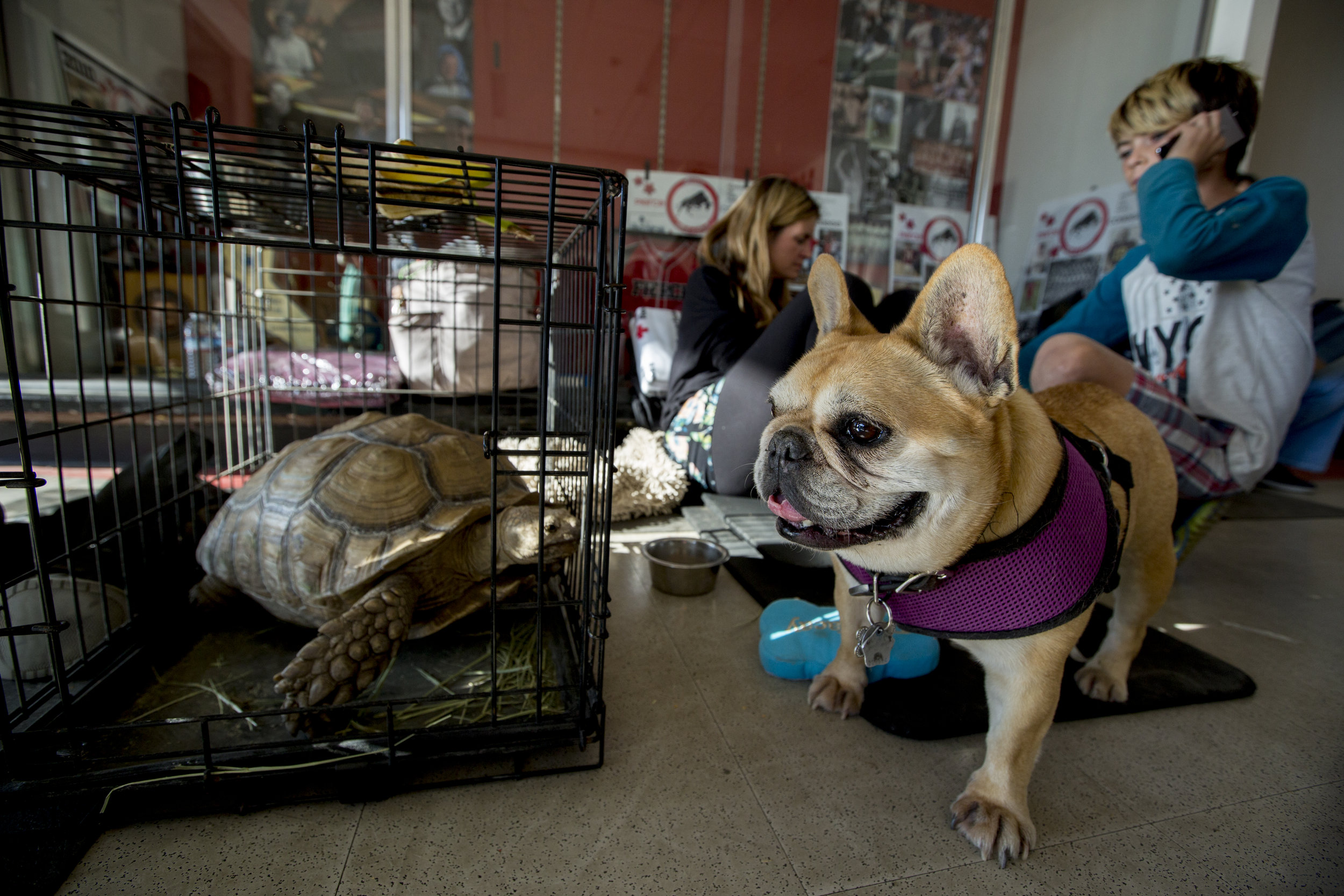 Stella the French Bulldog (right) stands alert while her owner, Stephania D'Amore (center-back), settles in with the rest of the family and pets at the Woolsey fire evacuation center set up at Los Angeles Pierce College on November 9, 2018 in Woodland Hills, Calif. As she waits for a cot, D'more expresses that she is concerned for her pets and wants to get them out of the hallway as soon as possible. She said that she feels exhausted and that this experience has been scary. While D'amore credits the volunteers with being very supportive and coming through with everything that they have promised, she admits that there is some agony in wondering if their home will still be there when they go back. (Jose Lopez)