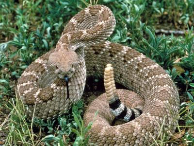 Image courtesy of snakeprotection.com