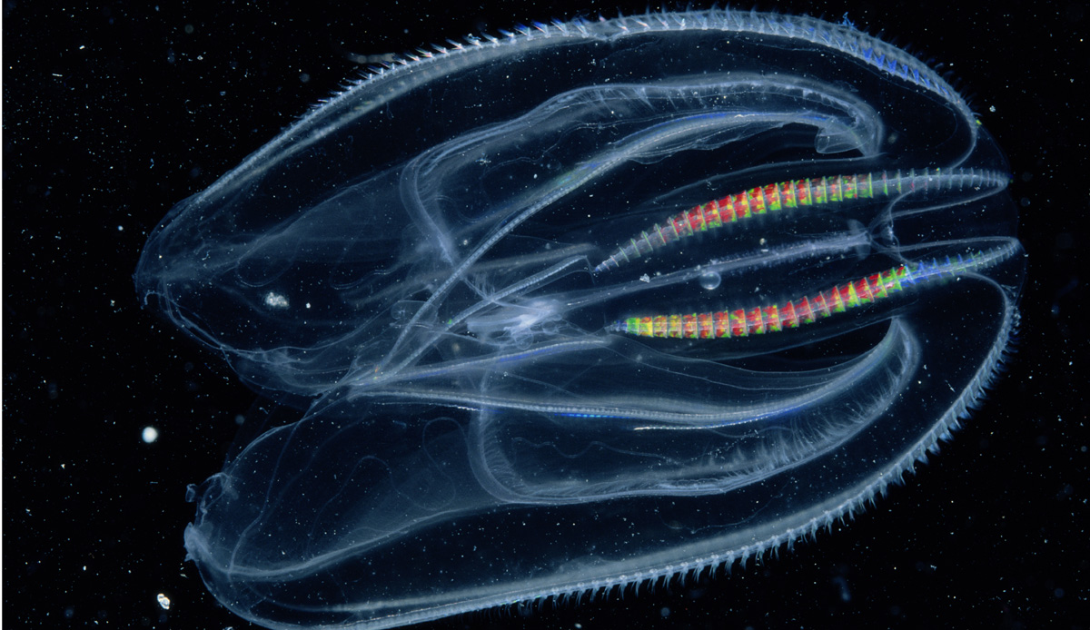 National Geographic http://phenomena.nationalgeographic.com/files/2013/12/comb-jelly.jpg