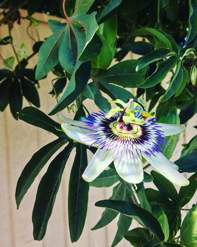 passion flower.jpeg