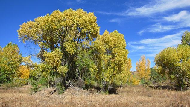 Cottonwoods at Watson Woods Riparian Preserve. Photo by  Prescott Creeks .