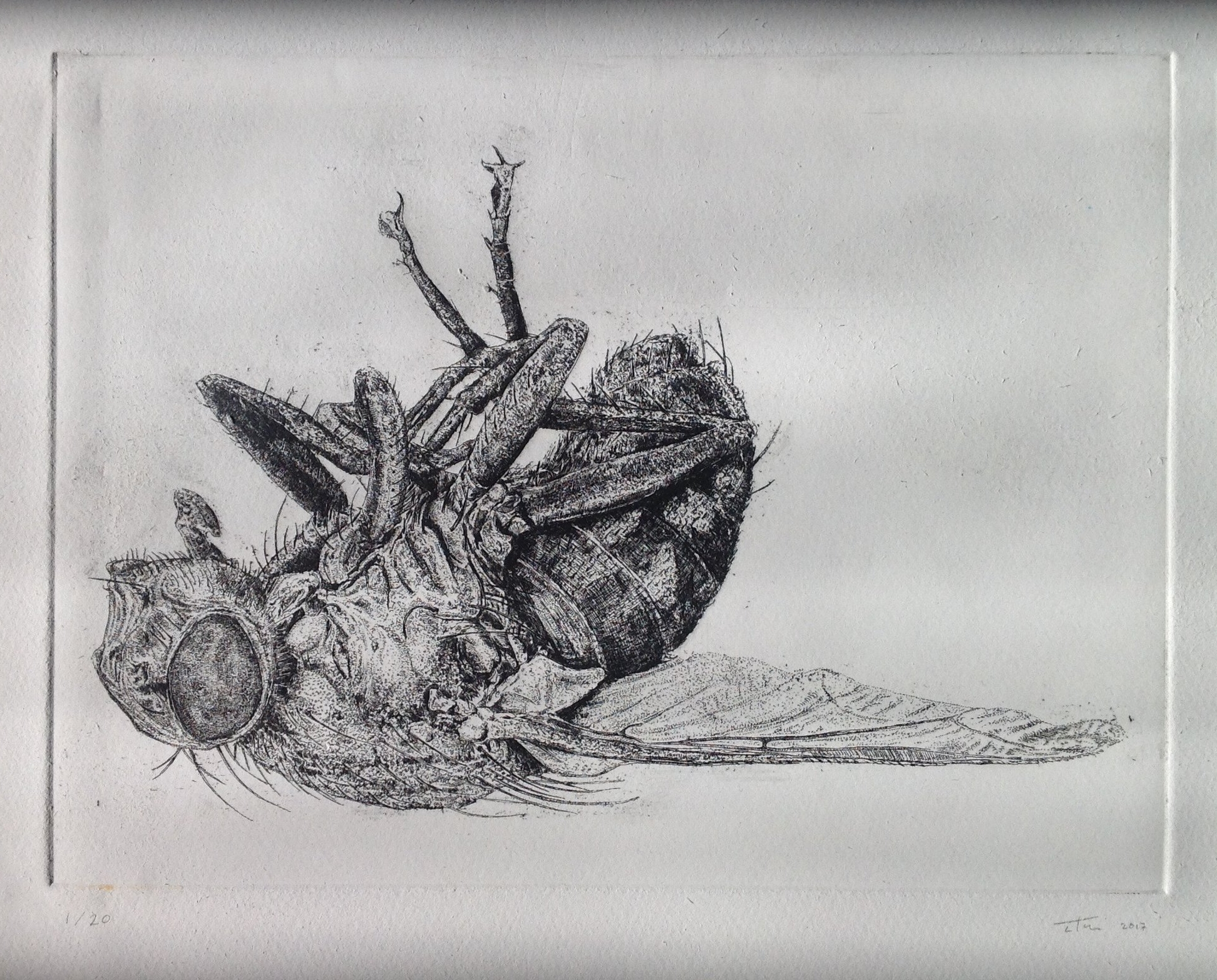 'DEAD FLY'  2017  HARD GROUND ON SOMERSET SATIN  320x280mm  EDITION OF 20,  £150