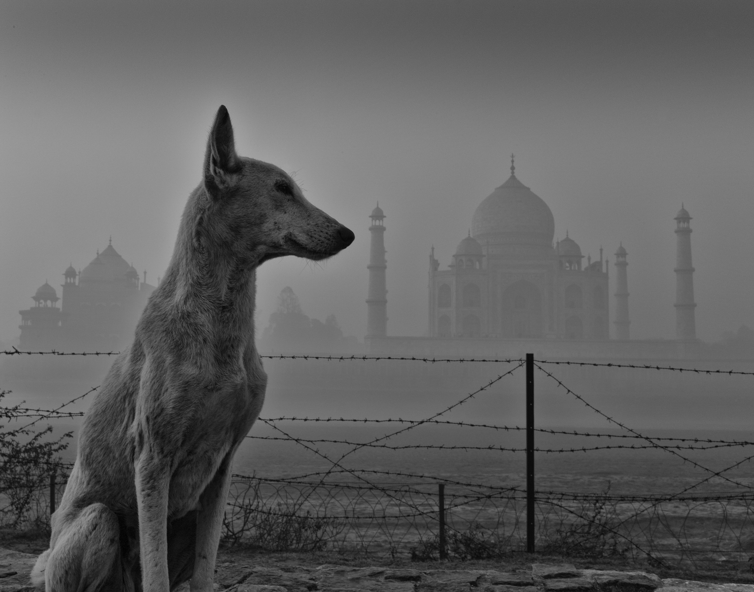 dog across river from taj mahal