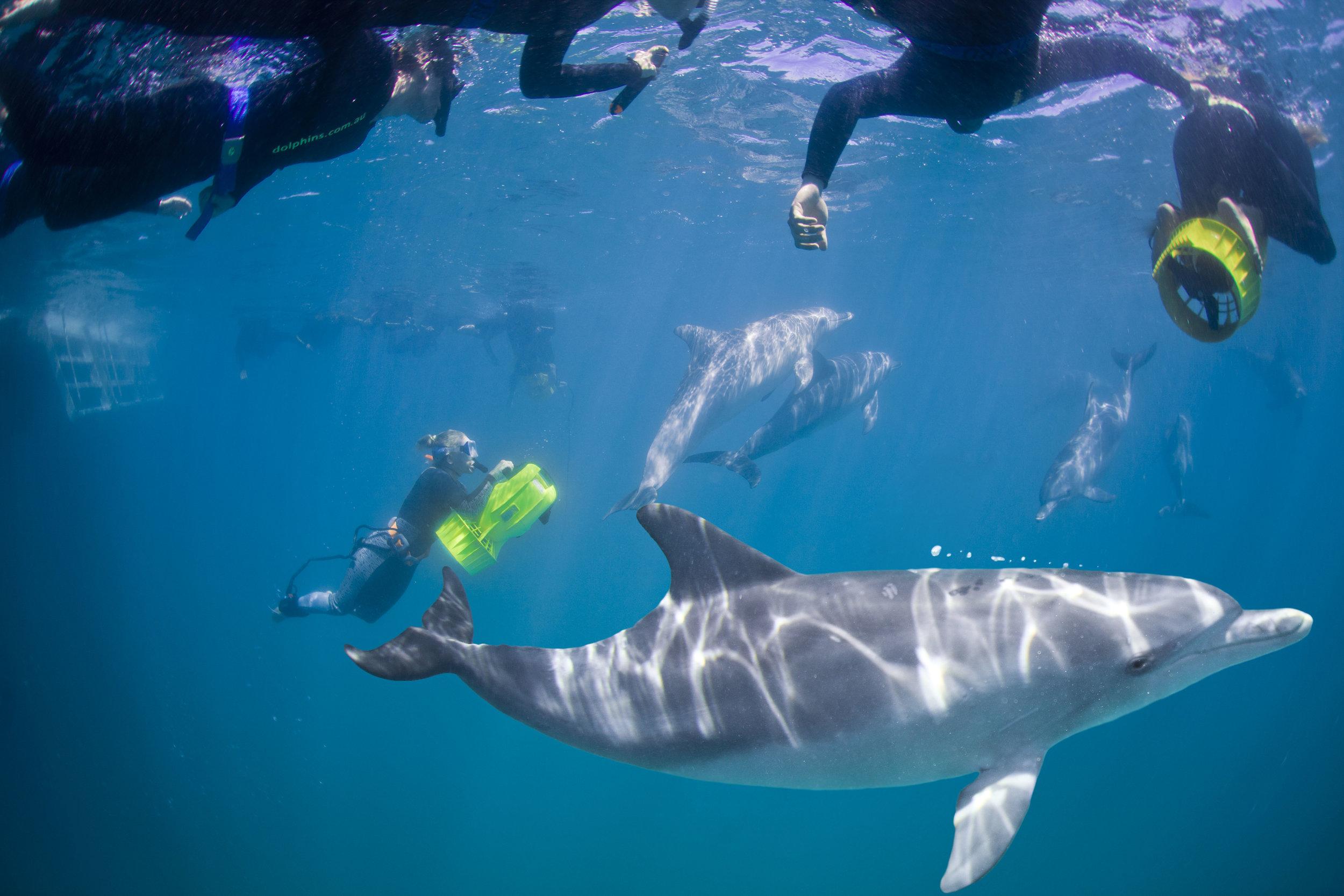 swim with dolphins australia