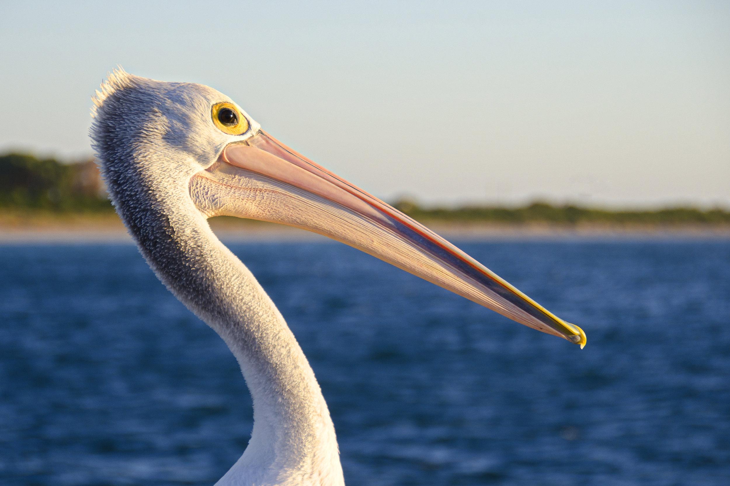 pelican penguin island