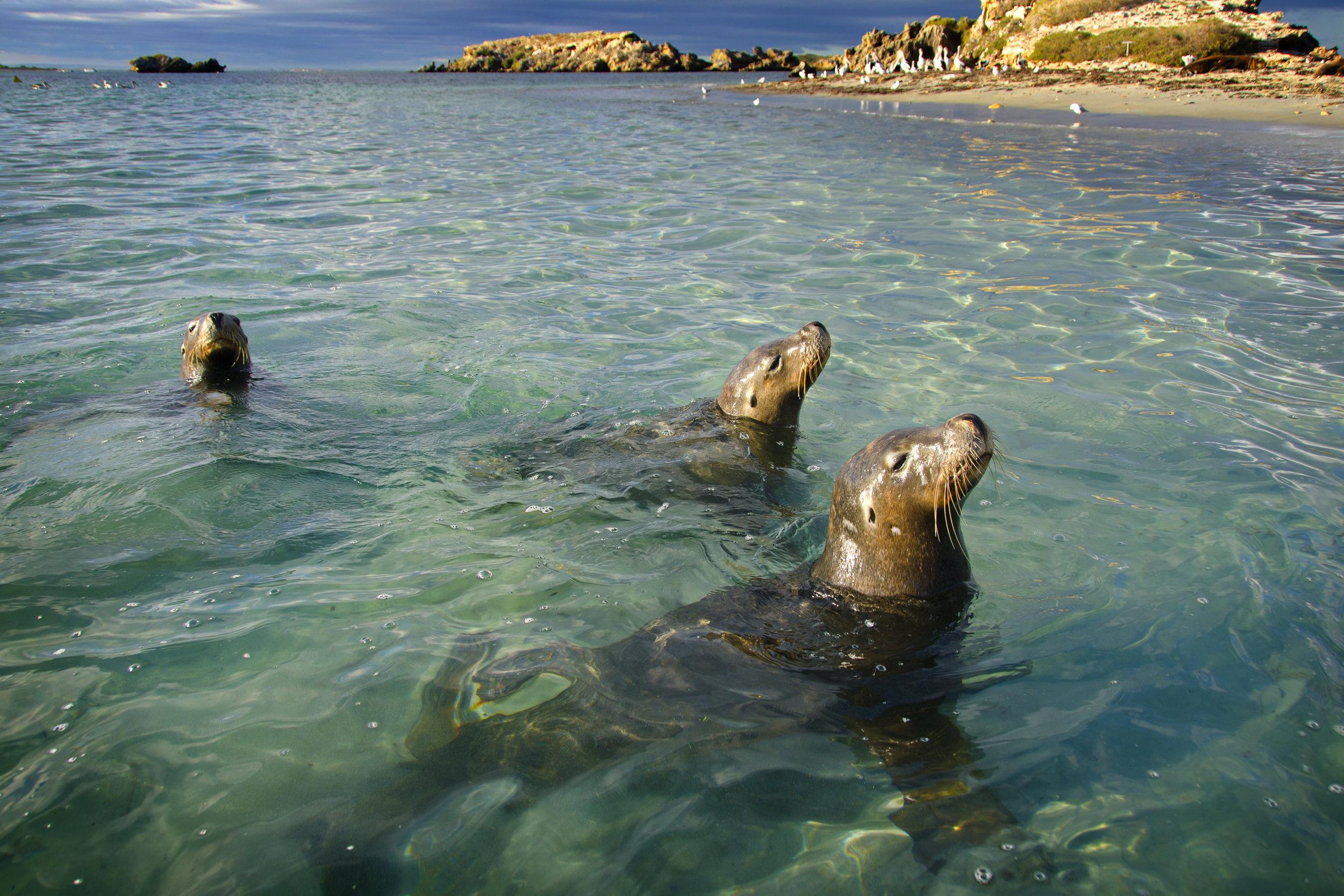 seals winter perth