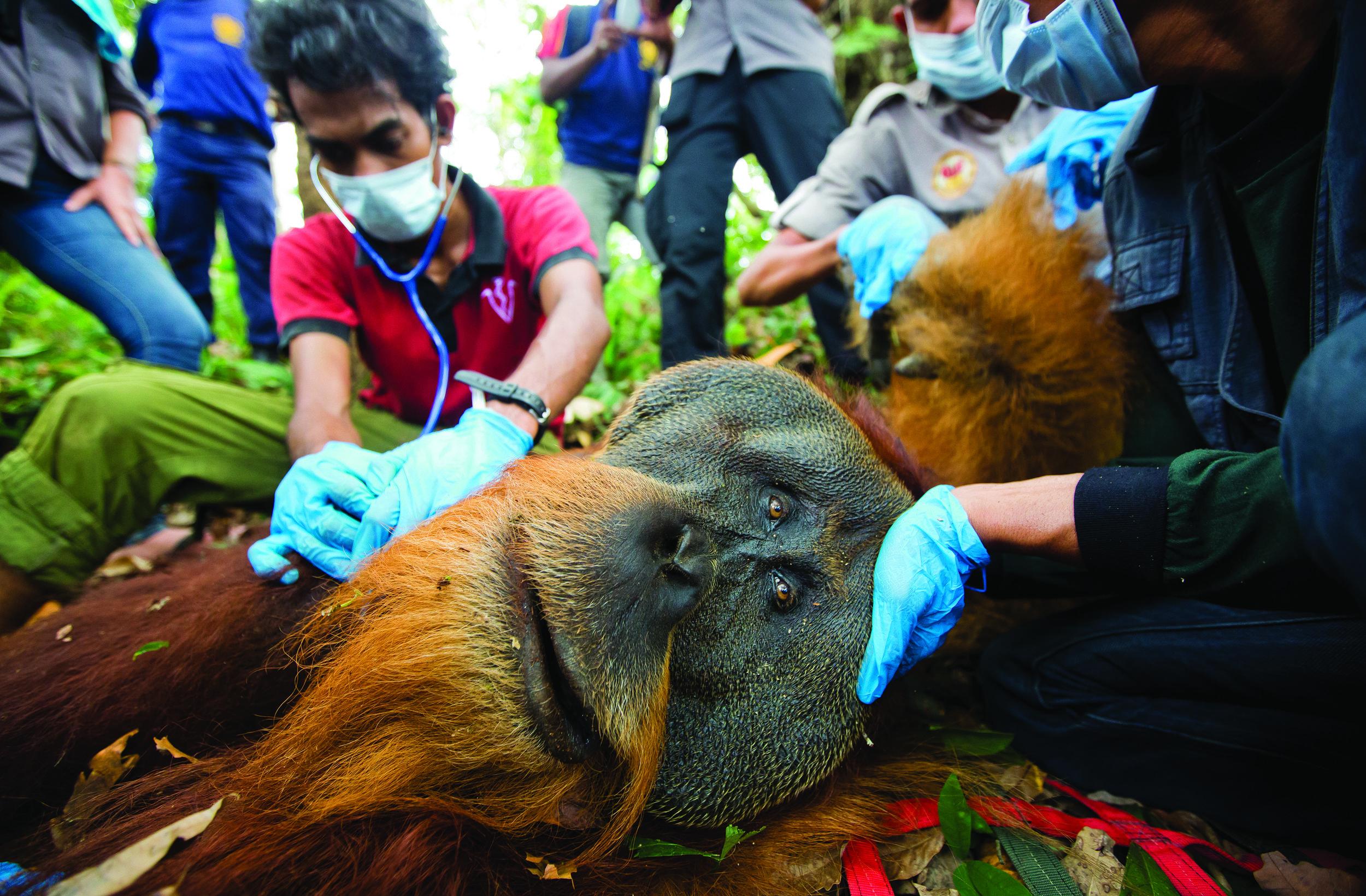 Orangutan rescue-PaulHilton.jpg