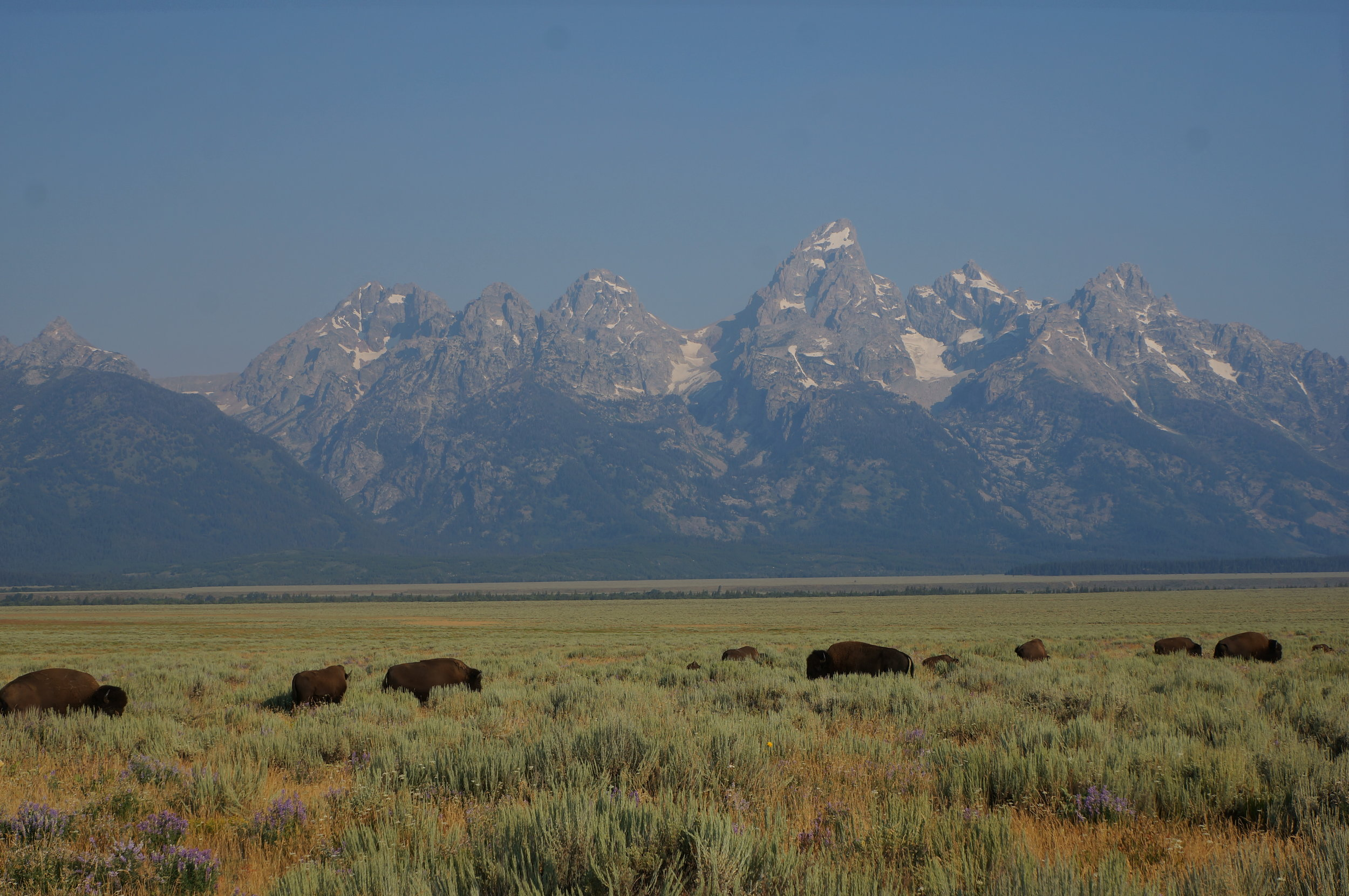 """Bison just outside """"Mormon row"""""""