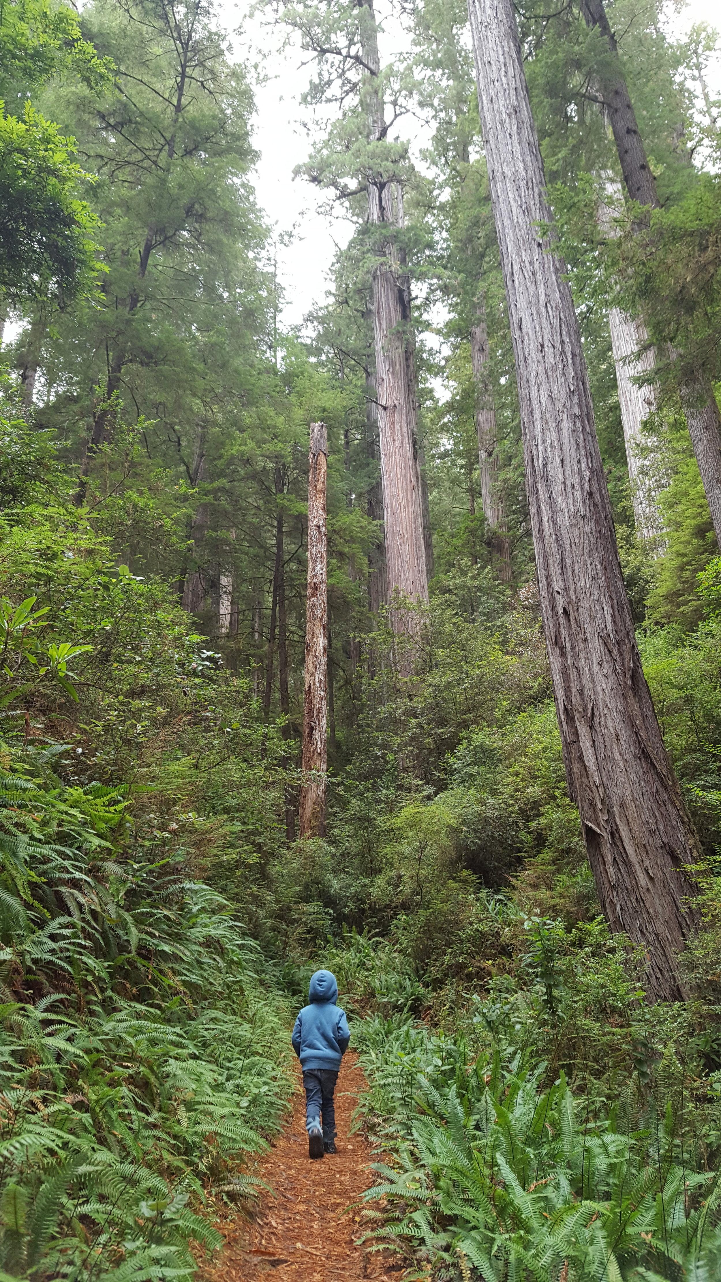 Bennett cruising among some of the smaller (but tall!) redwoods.