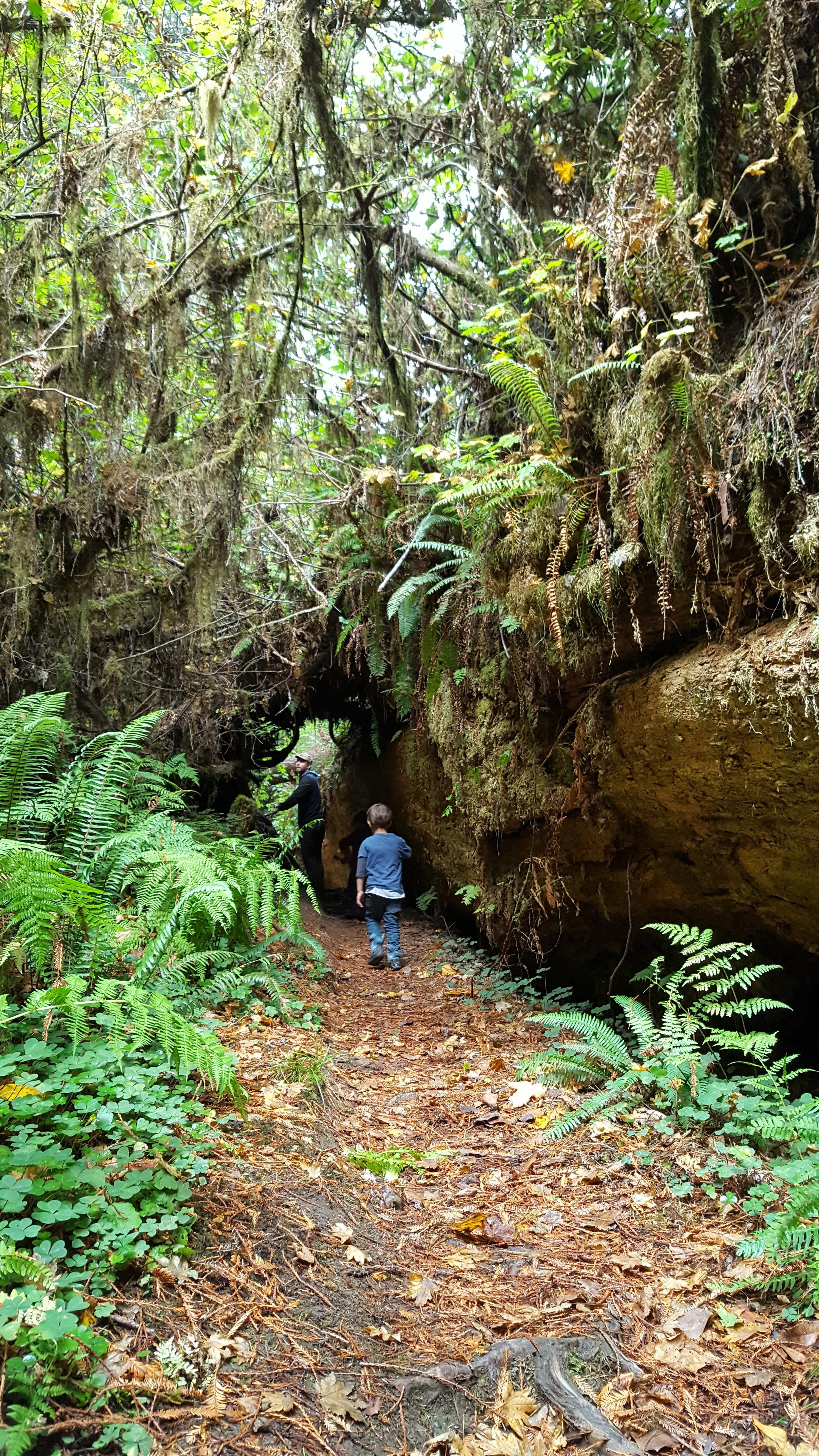 Hiking beside a giant fallen redwood.