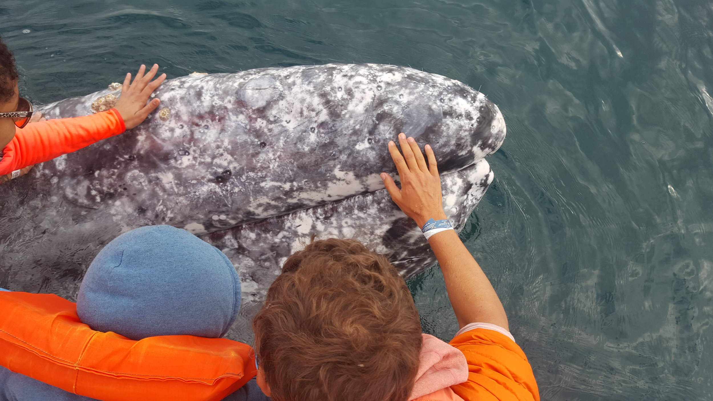 Bennett and Chip's initial meeting with our friendly male whale. He hung around our boat for close to twenty minutes. I can't count how many times we were able to touch him.