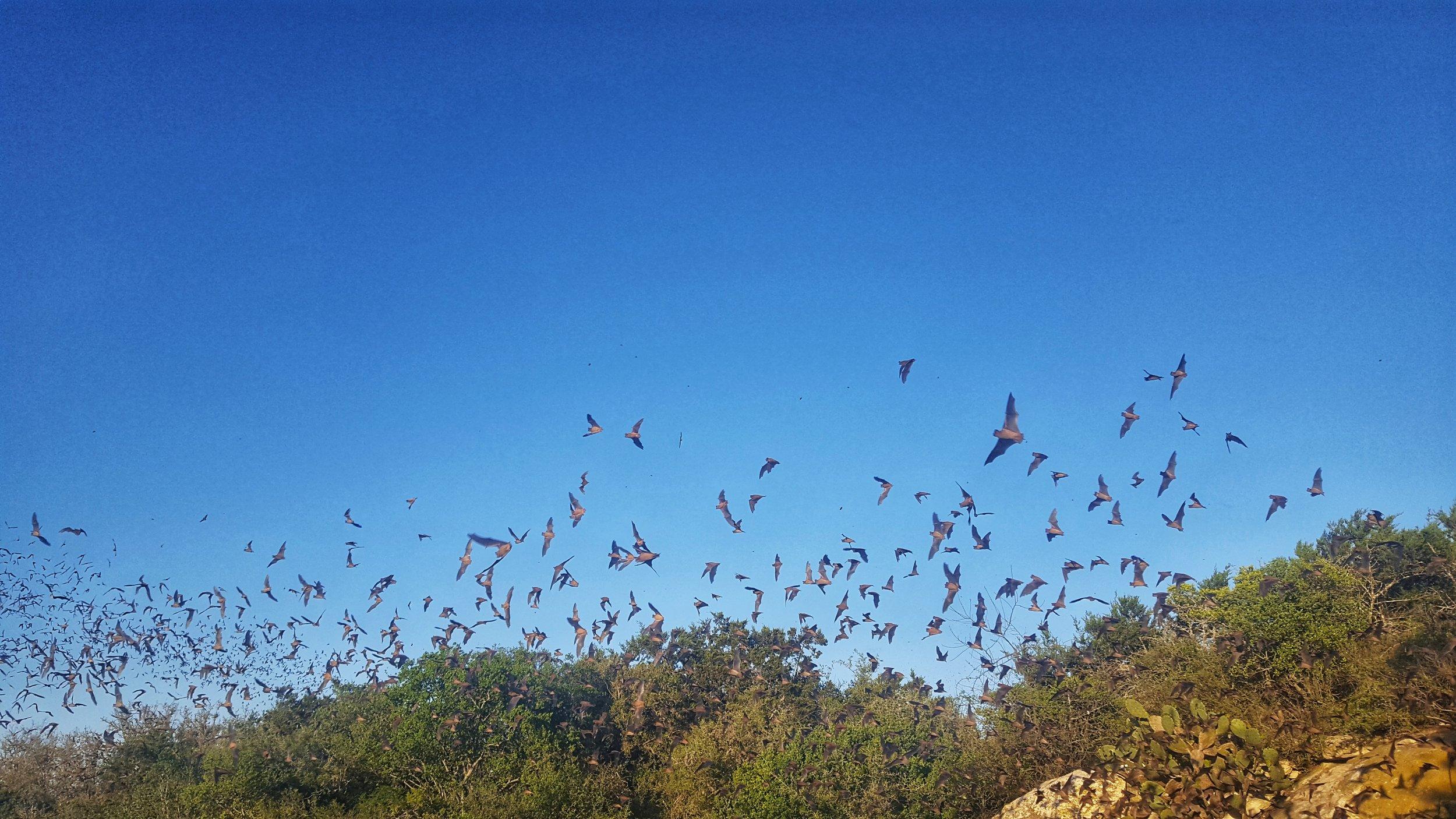 Mexican Free-Tail bats exiting the Stuart Bat Cave at dusk.