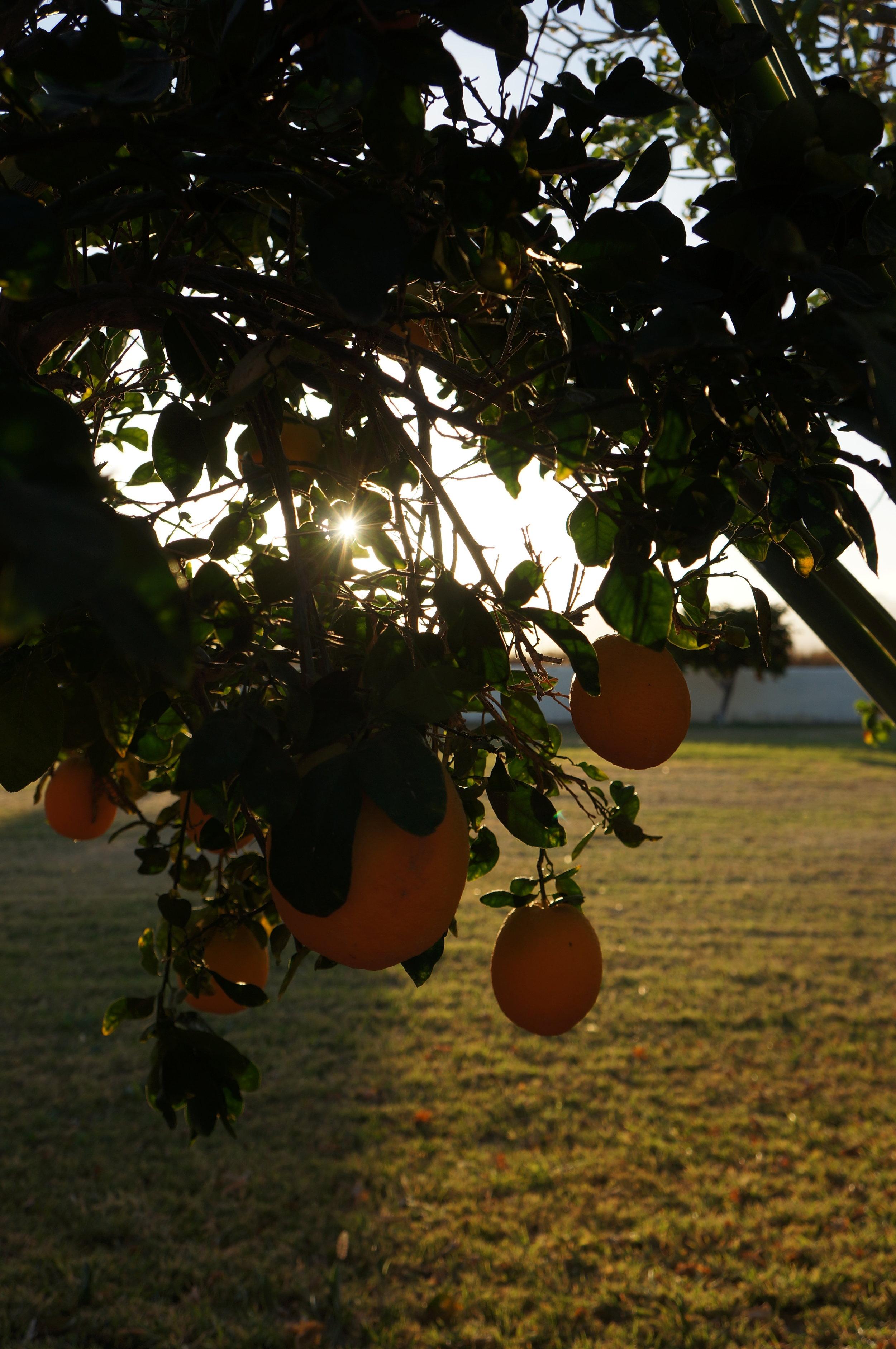 Orange tree views.
