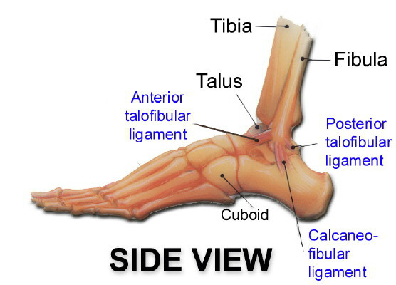 ankle-structure-side.jpg