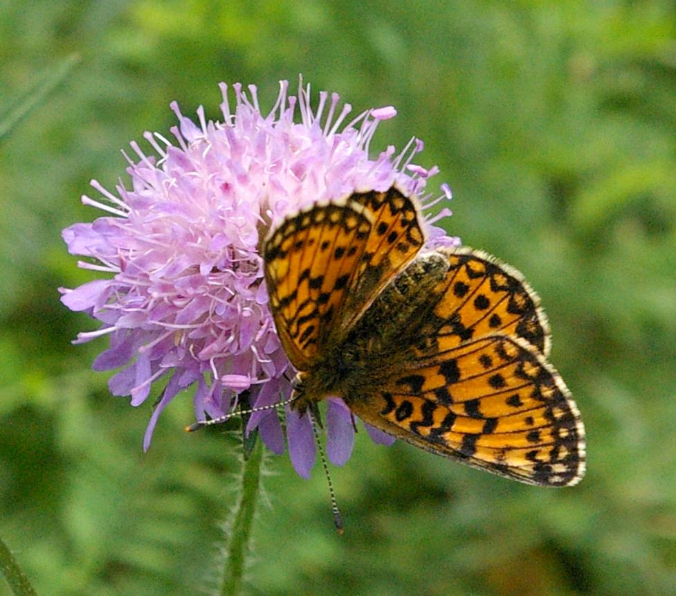 Knautia_arvensis_with_Butterfly_(Heliconiinae).jpg