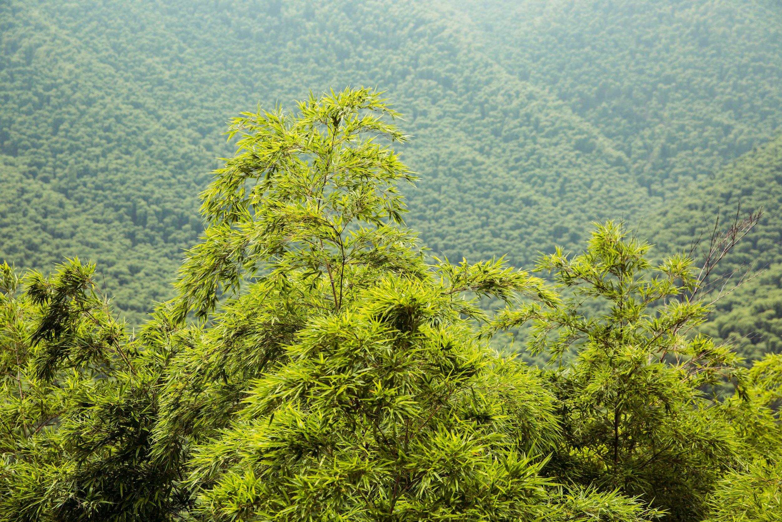 Set A - Ji bamboo forest-025.jpg