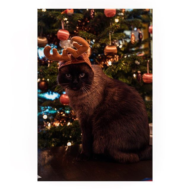 Chino, not happy with his antler outfit 😾#merrycrimbo
