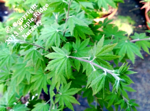 Acer_japonicum_Lovett_April_2013_Maple_Ridge_Nursery.jpg