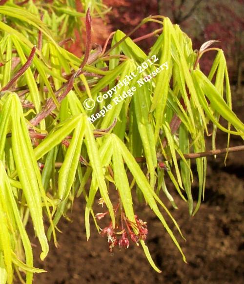 Acer_palmatum_Ao_Shime_no_uchi_April_Maple_Ridge_Nursery.jpg