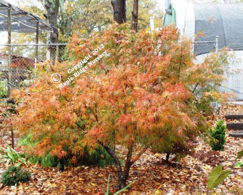 Acer_palmatum_Ao_shime_no_uchi_November_Maple_Ridge_Nursery.jpg
