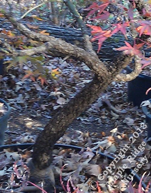 Acer_palmatum_Arakawa_November_2012_Maple_Ridge_Nursery.JPG