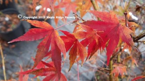 Acer_palmatum_Arakawa_November_2011_Maple_Ridge_Nursery.jpg