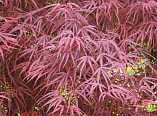 Acer_palmatum_Atrolineare_April_Maple_Ridge_Nursery.jpg