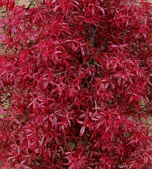 Acer_palmatum_Beni_komachi_April_Maple_Ridge_Nursery.JPG