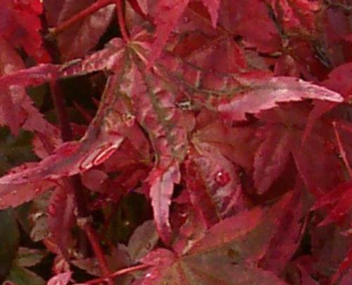 Acer_palmatum_Beni_maiko_August_Maple_Ridge_Nursery.jpg
