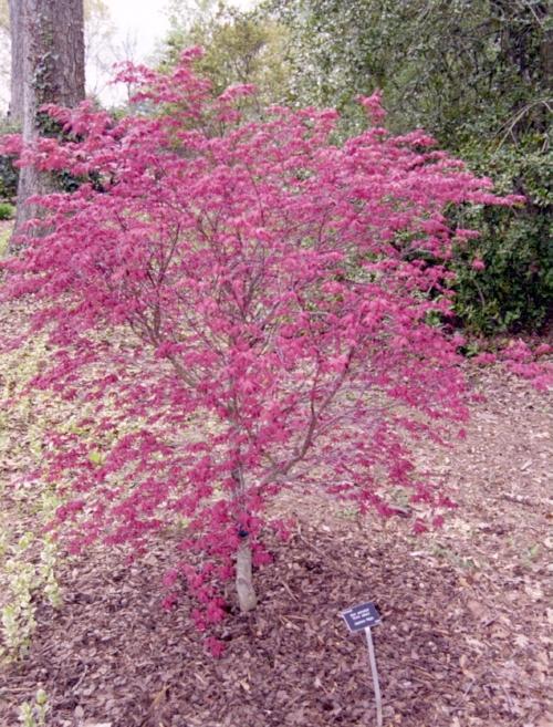 Acer_palmatum_Beni_maiko_April_Maple_Ridge_Nursery.jpg