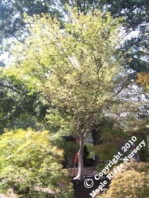 Acer_palmatum_Beni_shichihenge_August_Maple_Ridge_Nursery.jpg