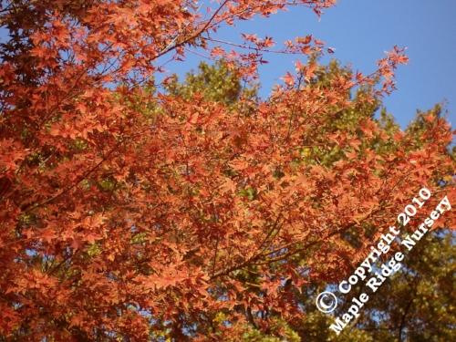 Acer_palmatum_Beni_shichihenge_November_Maple_Ridge_Nursery.jpg