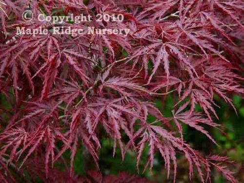 Acer_palmatum_Beni_Shidare_April_Maple_Ridge_Nursery_2010.jpg