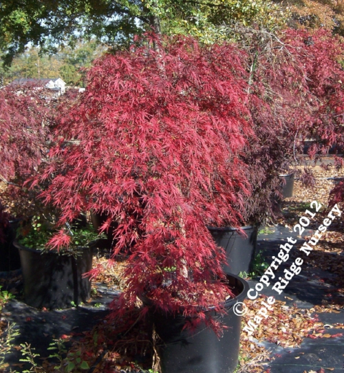 Acer_palmatum_Beni_Shidare_November_Maple_Ridge_Nursery_2012.jpg
