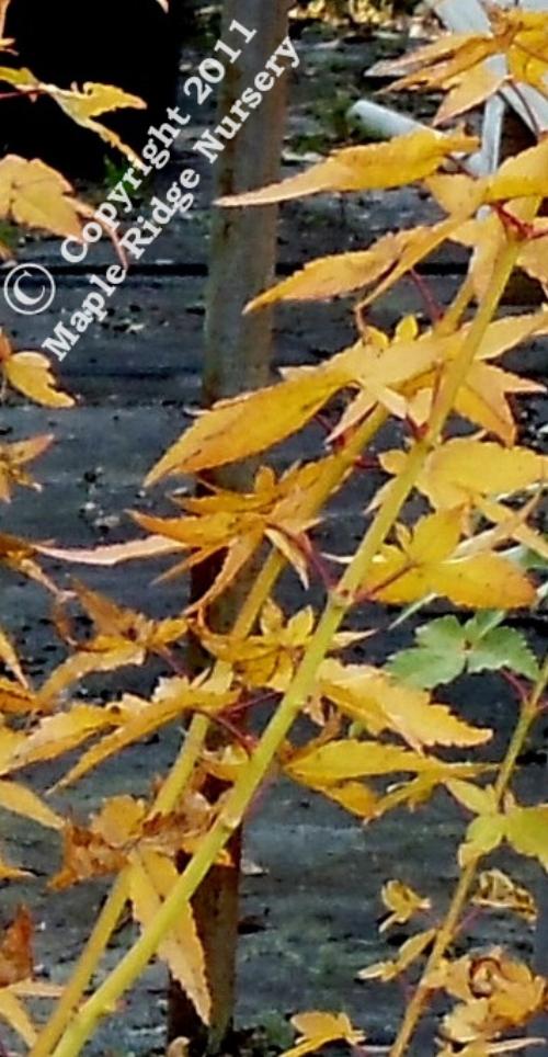 Acer_palmatum_Bihou_November_2010_Maple_Ridge_Nursery.jpg