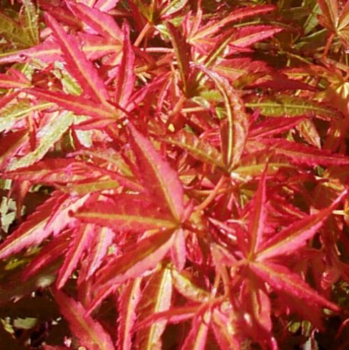 Acer_palmatum_Bonfire_May_Maple_Ridge_Nursery.jpg