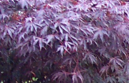 Acer_palmatum_Burgundy_Lace_April_Maple_Ridge_Nursery.jpg