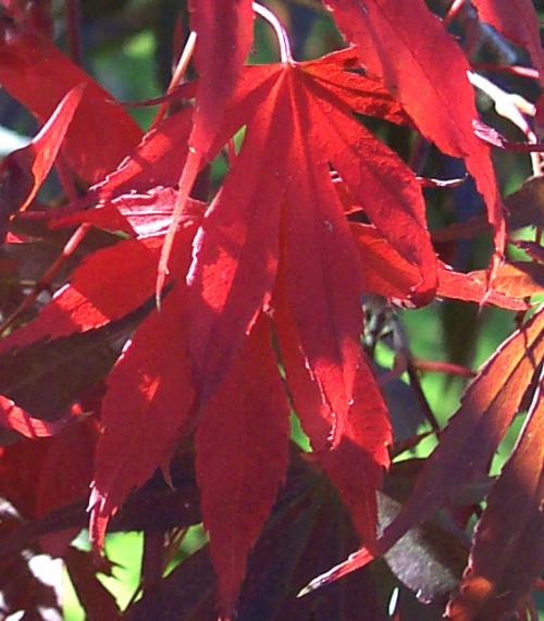 Acer_palmatum_Burgundy_lace_November_Maple_Ridge_Nursery.jpg