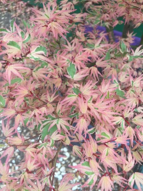 Acer_Palmatum_Butterfly_March_23_2017_Maple_Ridge_Nursery_1.jpg