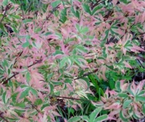 Acer_palmatum_Butterfly_May_Maple_Ridge_Nursery.jpg